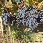 conversion viticulture bio