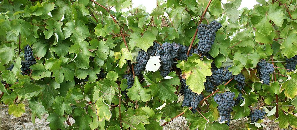 lexique vigne vin vinification