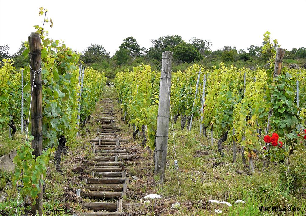 chemins en bois dans le vignoble alsacien